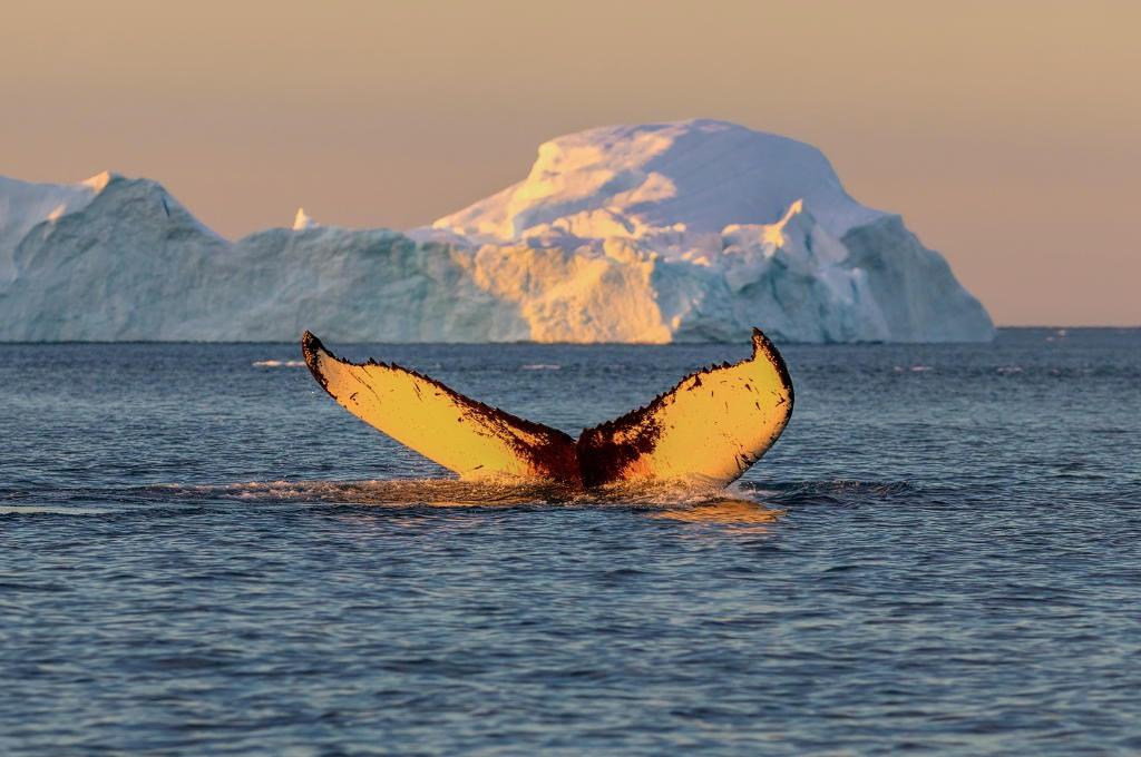 Grönland - Fluke vom Buckelwal