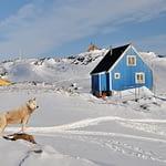 Grönland - Husky vor bunten Häusern